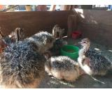 Healthy ostrich chicks, hatching eggs , feather and other Birds for sale