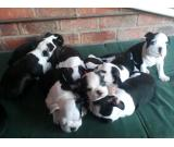 cute and adorable male and female boston terrier for adoption