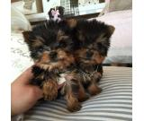 AKC female 2 teacup Yorkie puppy Ready Today!!!!$