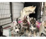 Beautiful Stunning Siberian Huskies For Sale