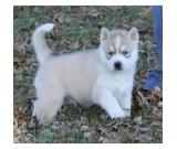 Siberian Husky Puppies For good and caring home