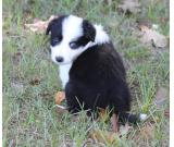 clean border collie puppies ready for pick up