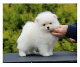 Charming Pom Puppies Available