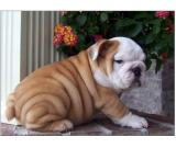 stunning AKC registered English Bulldog puppies