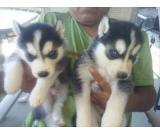 Super Siberian Husky puppies for you