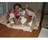 English Bulldog puppies for your home