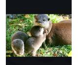 Male and Female Asian Small Clawed Otters for sale,+1 707 625 0591.