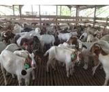 Sheep and boer goats for sale