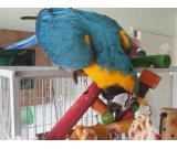 8 Mouth Old Female Macaw