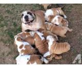 male and female English Bulldog pupi ready fr ready home