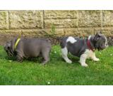 Blue French Bulldog Puppies For Sale - Ready Now whatsapp me :+639232316532