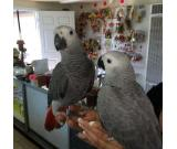 Well trained African gray parrot for sale
