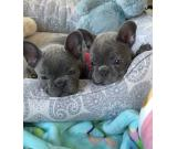 Precious Blue French Bulldogs Available