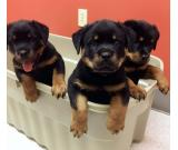 male and female Rottweiler puppirs for sale