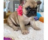 AKC registere Frenchie ready for their new home
