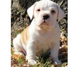 Gorgeous English Bull Dog Puppies available