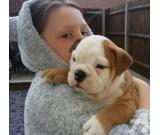 English Bulldog puppies are available for adoption to good and lovely home.