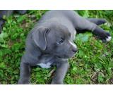 02* wonderful male and female Pitbull puppies vaccine