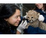 Cheetah, Tiger, lion Cubs and Fennec Fox For Sale
