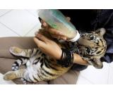 Available Are Some Tiger And Cheetah Cubs