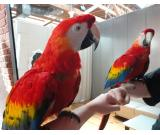 Tame Scarlet Macaws for Adoption