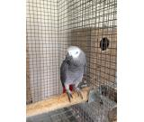 Healthy and Fertile Parrot Eggs and Parrots For Sale