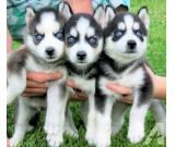 Siberian Husky Puppies Blue eyes Ready for sale