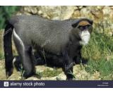 De Brazza monkey pets on sale