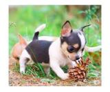 Chihuahua toy puppies very happy and very sweet 80 days old