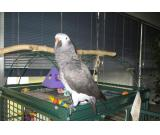 lovely and Adorable Congo African Grey