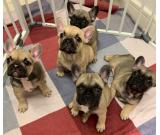 Beautiful French bulldog puppies avialable
