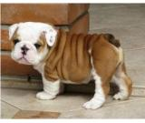 Affordable English Bulldogs now Available