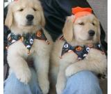 Adorables cachorros de Golden Retriever