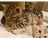 Pedigree Registered Bengal Kittens