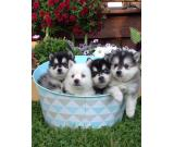 Beautiful Pomsky Puppies Available M/F