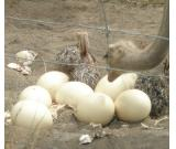 Ostrich ,Emu Chicks & Fertile Eggs for sale