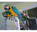 Adorable Talking Hyacinth Macaws