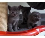 Beautiful kittens chartreux available loof