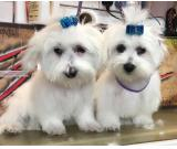 Miles and Shels super cute maltese puppies