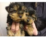 Yorkshire terriers in Hare Hatch also we caring for your puppy