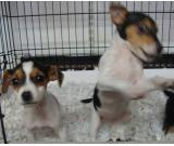 Jack Russell smooth coat pups for sale in London