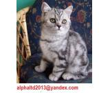 British Short hair Montreal a vender British Short hair kittens for sale