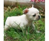 Adorable french bulldogs for sell