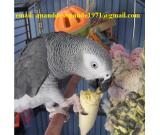 Talkative Congo Grey parrot for Sal