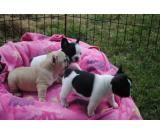 Healthy French Bulldog Puppies for good family