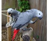 ###Congo African Grey Parrots for kids