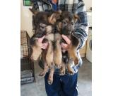 Male and female German Shepherds