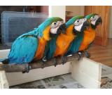 Species: African Grey,Scarlet macaw,Blue and Gold Macaw,Hyacinth