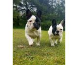 Ready Now. Kc registered Blue French Bulldog