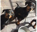Beautiful big kc registered doberman puppies,